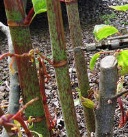 Metered Dose Injector helps control Japanese Knotweed.