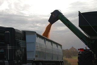 Harvested corn for ethanol