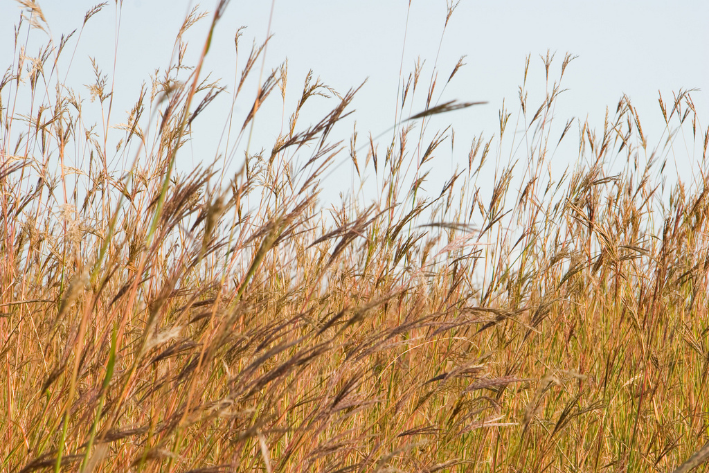 Improvements in cellulosic ethanol production would allow companies to utilize switchgrass and other plants that have little use or economic value. Credit: Margaret Broeren.