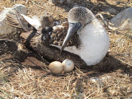 MadgeTech Data Loggers Employed for Blue-Footed Booby Study