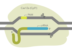 IDT Releases Latest Alt-R Cas12a (Cpf1) Ultra Enzyme for Genome Editing Experiments