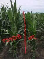 New Terrasym 408 Corn Product from NewLeaf Symbiotics Improves Early Stage Root Development